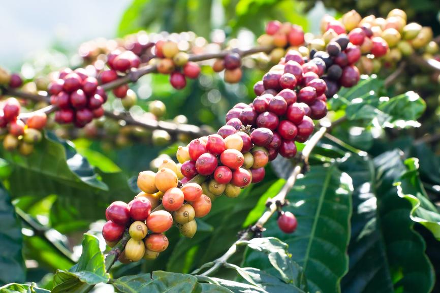 Cafeaua si cancerul de san